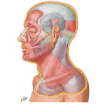 Muscles of Facial Expression: Lateral View