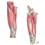 Muscles of Thigh: Anterior View