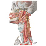 Nerves of Oral and Pharyngeal Regions