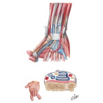 Arrangement of Tendons, Vessels, and Nerves at the Wrist