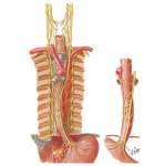 Innervation of Esophagus