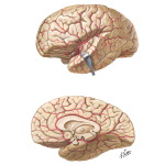 Arteries of Brain: Lateral and Medial Views