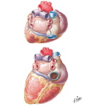 Heart: Base and Diaphragmatic Surfaces