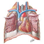 Heart: Anterior Exposure