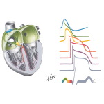 Physiology of the Specialized Conduction System