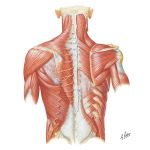 Illustration of Posterior Thoracic Wall  Dorsal Aspect of Thorax from the Netter Collection