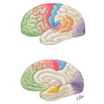 Cerebral Cortex: Localization of Function and Association Pathways