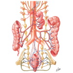 Innervation of the Intestine