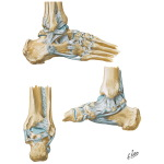 Ligaments of the Ankle and Foot