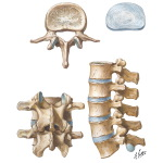 Lumbar Vertebrae and Intervertebral Disc