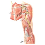 Scapular, Axillary and Radial Nerves
