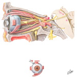 Oculomotor (III), Trochlear (IV) and Abducens (VI) Nerves and Ciliary Ganglion