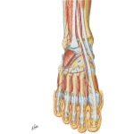 Muscles, Arteries, and Nerves of Front of Ankle and Dorsum of Foot: Deeper Dissection
