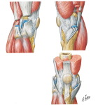 Knee Joint (Lateral, Medial, and Anterior Views)
