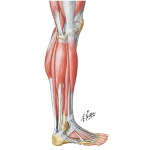 Muscles of Leg: Lateral View