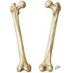 Osteology of the Femur