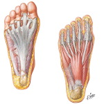 Muscles, Arteries, and Nerves of Sole of Foot