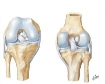 Cruciate and Collateral Ligaments of Right Knee Joint