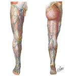 Superficial Veins and Cutaneous Nerves of Lower Limb