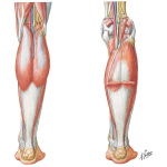 Muscles, Arteries, and Nerves of Leg (posterior view)