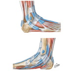 Synovial Tendon Sheaths at Ankle