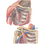 Fascial Sheaths of the Cervicothoracic Region