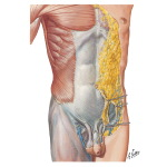 Anterior Abdominal Wall: Superficial Dissection