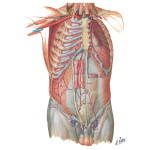 Arteries of Anterior Abdominal Wall