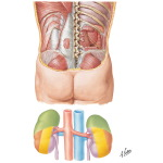 Anatomic Relations of the Kidney - Posterior Relations of the Kidneys