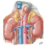 Renal Artery and Vein In Situ Renal Vasculature