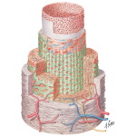 Structure of Coronary Arteries