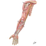 Nerves of the Upper Extremity