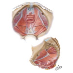 Pelvic Diaphragm II - From Above