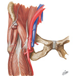 Muscular and Vascular Anatomy of the Right Inguinal Region