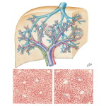 Interdigation of Portal Triads With Branches of Hepatic Vein