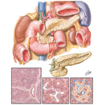 Pancreas-Anatomy and Histology