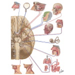 Cranial Nerves (Motor and Sensory Distribution): Schema