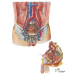 Lymph Vessels and Nodes of Pelvis and Genitalia: Male