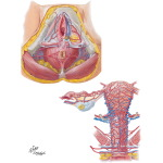 Arteries and Veins of Perineum and Uterus