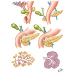 Development of Pancreas