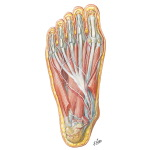 Muscles of Sole of Foot: Second Layer