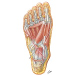 Muscles of Sole of Foot: Third Layer