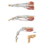 Flexor and Extensor Tendons in Fingers