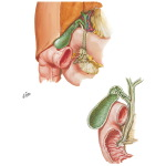 Gallbladder and Extrahepatic Bile Ducts