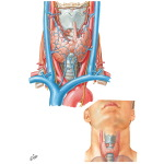 Thyroid Gland: Anterior View