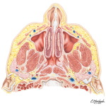 Nose and Paranasal Sinuses: Cross Section