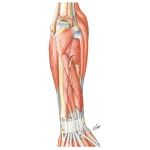 Muscles of Forearm (Deep Layer): Posterior View