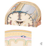 Schematic of the Meninges and Their Relationship to the Brain