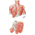Muscles: Back and Scapula Region