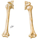 Osteology: Anterior and Posterior View of the Humerus